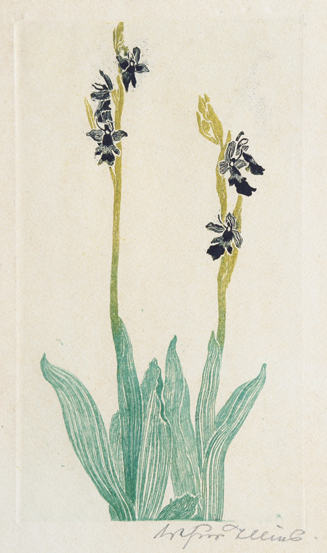 Fliegenorchis